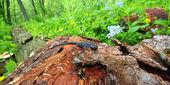 Blue-spotted Salamander (Ambystoma laterale) — Stock Photo