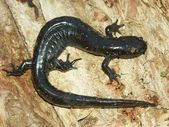 Smallmouth Salamander (Ambystoma texanum) — ストック写真