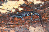Blue-spotted Salamander (Ambystoma laterale) — Stock Photo
