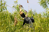 Anhingas in the Everglades — Stock Photo