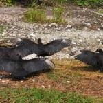 Black Vultures (Coragyps atratus) — Stock Photo #7210862