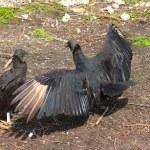 Black Vultures (Coragyps atratus) — Stock Photo #7212567