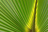 Palmetto Background — Stock Photo