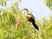 Anhinga in the Everglades — Stock Photo