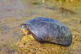 Tortuga de Blandings (blandingii de Emydoidea) — Foto de Stock