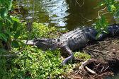American Alligator (Alligator mississippiensis) — Stock Photo