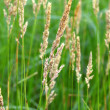 Reed Canary Grass (Phalaris arundinacea) — Stock Photo