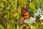 Viceroy Butterfly (Limenitis archippus) — Stock Photo