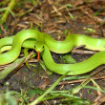 ������, ������: Smooth Green Snake Opheodrys vernalis