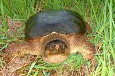 Snapping Turtle (Chelydra serpentina) — Stock Photo