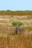 Mangroves in the Everglades — Stock Photo