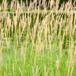 Reed Canary Grass (Phalaris arundinacea) - Stock Photo