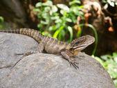 Australian Water Dragon (Physignathus lesueurii) — Stock Photo
