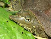 Spiny Softshell Turtle (Apalone spinifera) — Stock Photo