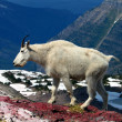 Mountain Goat (Oreamnos americanus) - Stock Photo