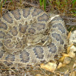 Prairie Rattlesnake (Crotalus viridis) - Stock Photo