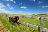żebranie osioł - custer state park — Zdjęcie stockowe