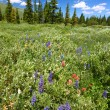 Bighorn National Forest Wildflowers - 图库照片