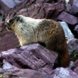 Stock Photo: Hoary Marmot (Marmotcaligata)