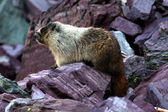 Hoary Marmot (Marmota caligata) — Stock Photo
