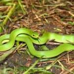 Постер, плакат: Smooth Green Snake Opheodrys vernalis
