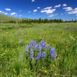 Stock Photo: Bighorn National Forest Wildflowers
