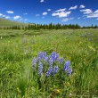 Bighorn National Forest Wildflowers — стоковое фото #7907468