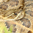 Stock Photo: Prairie Rattlesnake (Crotalus viridis)