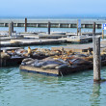 California sea lions on Pier 39 — Stock Photo