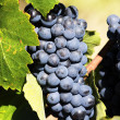 Mature grape — Stock Photo