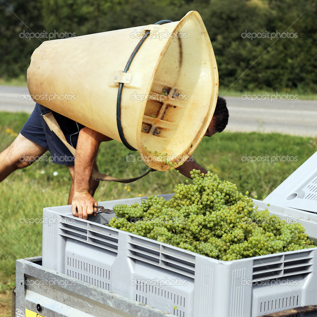 Farmer harvesting grapes during the harvest in France — Stock Photo #6957164