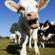 White calf — Stock Photo