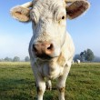 Beautiful white cow — Stock Photo