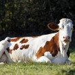Lying cow — Stock Photo