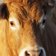 Head shot of brown cow — Stock Photo