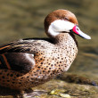 Red beak duck — Stock Photo #7908023