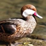 Red beak duck — Stock Photo