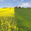 Stock Photo: Field of rape