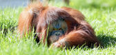 Oran utan in the grass — Stock Photo
