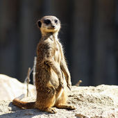 Meerkat in morning light — Stock Photo