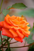 Close-up of a orange rose. — Stock Photo