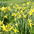 Daffodils picture — Photo