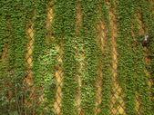 Ivy muur — Stockfoto