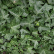 Ivy picture — Stock Photo