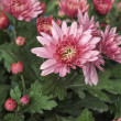 Chrysanthemum picture — Stock Photo