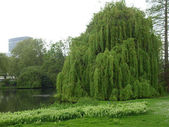 Weeping Willow — Foto de Stock