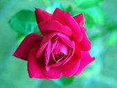 Rose picture — Stock Photo