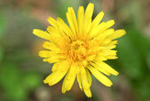 チコリの花 — ストック写真