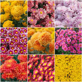 Collection of different species of chrysanthemums — Stock Photo