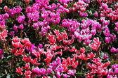 Rot und rosa alpenveilchen blumen für hintergrund — Stockfoto